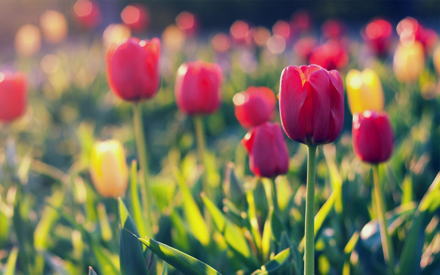 Summer-garden-tulip-blurred-background_2560x1600