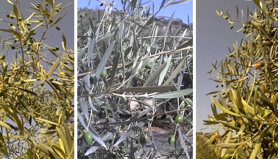 Improvement of the Olive Harvest