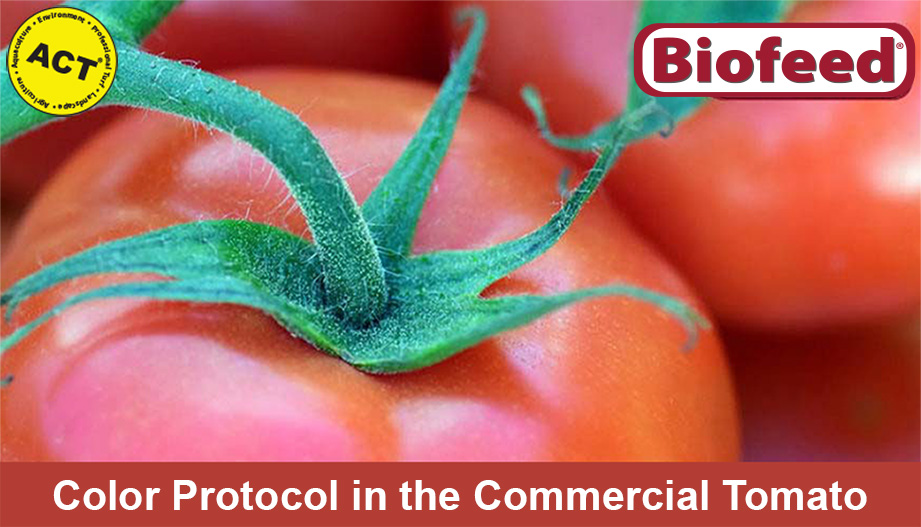 Color Protocol in the Commercial Tomato