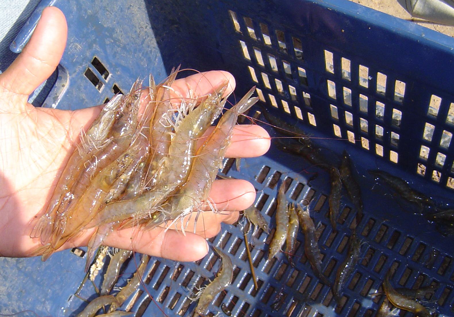 Peruvian Shrimp Producer RAVES about OXY-POND!